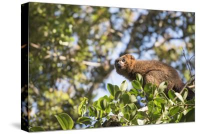Red Bellied Lemur (Eulemur Rubriventer), Ranomafana National Park, Madagascar Central Highlands