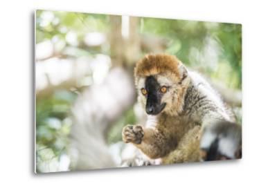Red-Fronted Lemur (Eulemur Rufifrons), Isalo National Park, Ihorombe Region