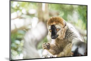 Red-Fronted Lemur (Eulemur Rufifrons), Isalo National Park, Ihorombe Region by Matthew Williams-Ellis