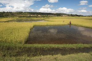 Rice Paddy Fields on Rn7 (Route Nationale 7) Near Ambatolampy in Central Highlands of Madagascar by Matthew Williams-Ellis