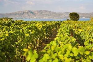 Vineyard, Lumbarda, Korcula Island, Dalmatian Coast, Adriatic, Croatia, Europe by Matthew Williams-Ellis