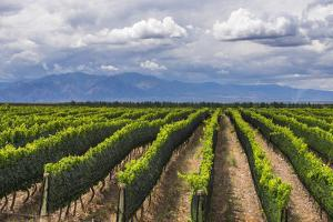 Vineyards in the Uco Valley (Valle De Uco), a Wine Region in Mendoza Province, Argentina by Matthew Williams-Ellis