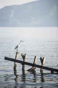 White Heron, Lake Toba (Danau Toba), North Sumatra, Indonesia, Southeast Asia, Asia by Matthew Williams-Ellis