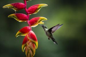 White-necked Jacobin (Florisuga mellivora) (Collared Hummingbird), Boca Tapada, Costa Rica by Matthew Williams-Ellis