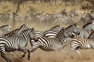 Herd of Zebras Gallopping