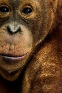 A Captive Orangutan at the Borneo Orangutan Survival Center in Nyaru Menteng by Mattias Klum