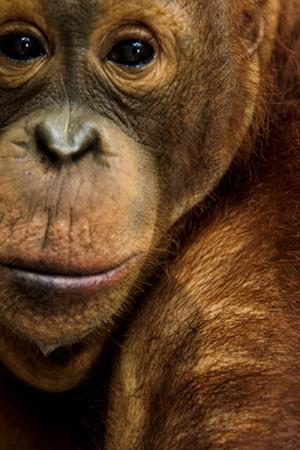 A Captive Orangutan at the Borneo Orangutan Survival Center in Nyaru Menteng