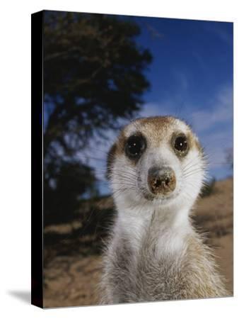 A Close View of an Adult Meerkat (Suricata Suricatta)