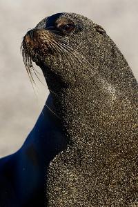 A Fur Seal Covered in Sand by Mattias Klum