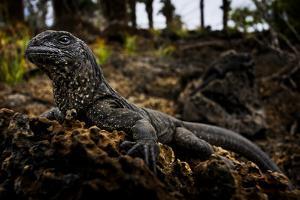 A Juvenile Marine Iguana Rests on a Lava Rock by Mattias Klum