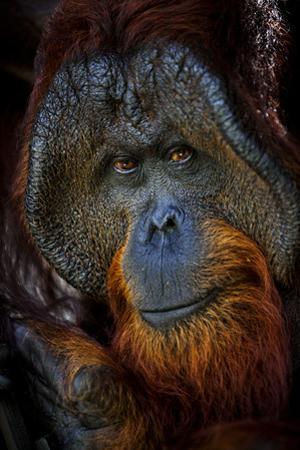 A Male Orangutan at the Borneo Orangutan Survival Center in Nyaru Menteng