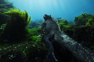 A Marine Iguana Feeds on Algae That Covers Lava Rocks by Mattias Klum