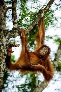 An Orangutan Hangs from a Tree Branch at the Borneo Orangutan Survival Cente by Mattias Klum