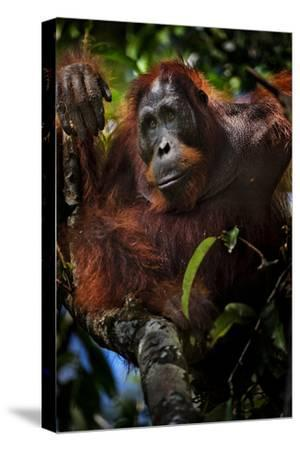 An Orangutan in a Peat Swamp Forest at the Borneo Orangutan Survival Center