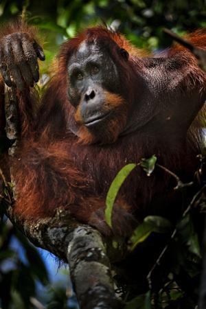 An Orangutan in a Peat Swamp Forest at the Borneo Orangutan Survival Center