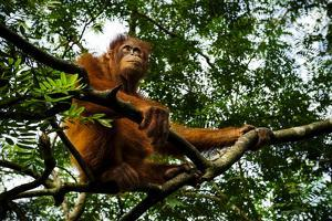 An Orangutan in a Tree at the Borneo Orangutan Survival Center in Nyaru Menteng by Mattias Klum