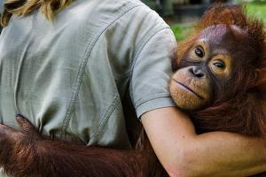 An Orangutan with Keeper at the Borneo Orangutan Survival Center by Mattias Klum