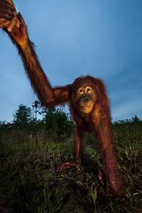 An Orangutan with Keeper in a Peat Swamp at the Borneo Orangutan Survival Center by Mattias Klum