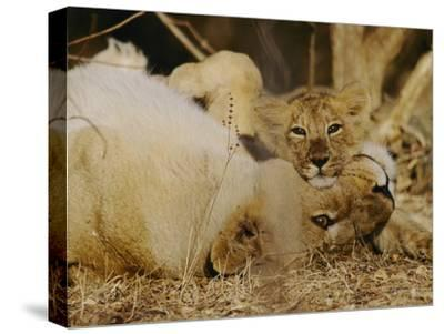 Asian Lions, Panthera Leo Persica, Mother and Cub