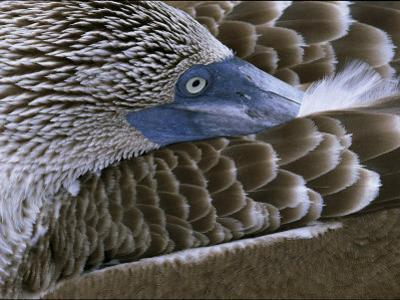 Close-up of a Blue-Footed Booby, Sula Nebouxii, Grooming Feathers