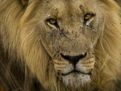 Close Up Portrait of a Male African Lion, Panthera Leo