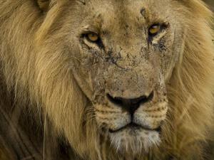 Close Up Portrait of a Male African Lion, Panthera Leo by Mattias Klum
