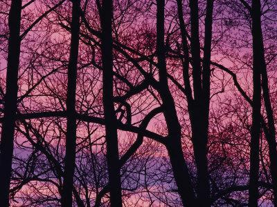 Detail of Bare Trees Silhouetted against a Deep Rose Sky