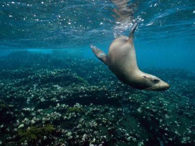 Endangered Galapagos Sea Lion Swimming Underwater