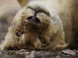 Female Asian Lion Playfully Rolls on Her Back by Mattias Klum