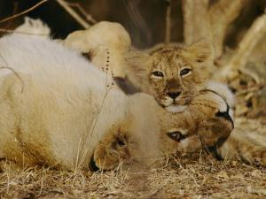 Female Asian Lion with Cub by Mattias Klum