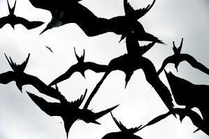 Frigatebirds Against a Thundercloud Sky by Mattias Klum