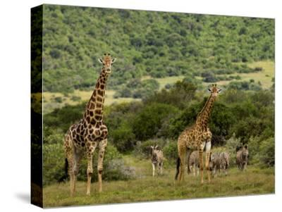 Giraffes and Zebras in an African Landscape
