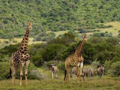 Giraffes and Zebras in an African Landscape