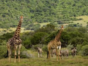 Giraffes and Zebras in an African Landscape by Mattias Klum