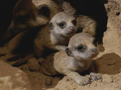 Just Waking Up, Two Meerkat Pups Crawl Away From Their Nest Into the Sunlight