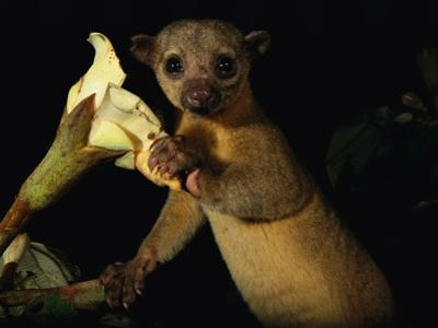 Kinkajou Holds a Blossom, Ready for its Head Diving Eating Technique