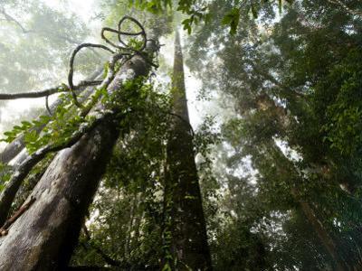 Lianas vines twine around dipterocarp trees