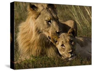 Male and Female African Lions, Panthera Leo, Nuzzling