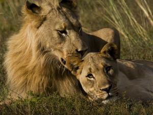 Male and Female African Lions, Panthera Leo, Nuzzling by Mattias Klum