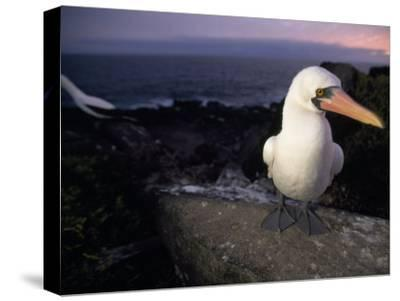 Masked Booby, Sula Dactylatra, Perched on a Rock at Twilight
