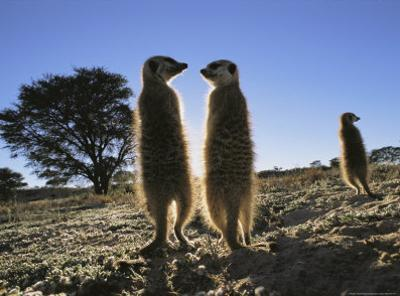 Meerkats Start Each Day with a Sunbath to Lift the Night's Chill