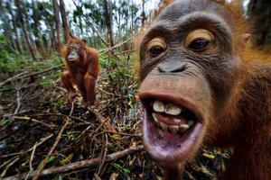 Orangutans in a Peat Swamp at the Borneo Orangutan Survival Center in Nyaru Menteng by Mattias Klum