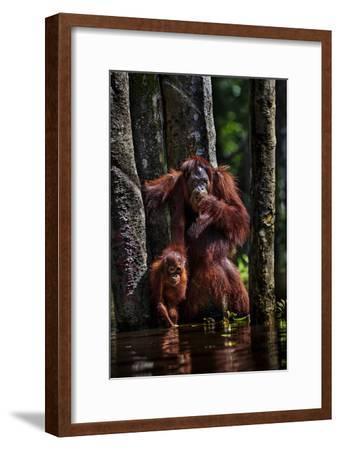 Orangutans in a Peat Swamp Delta at the Borneo Orangutan Survival Center