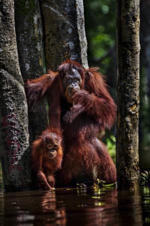 Orangutans in a Peat Swamp Delta at the Borneo Orangutan Survival Center by Mattias Klum