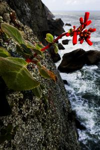Red Flowers on Granite Cliffs Above the Atlantic Ocean in Serra Da Tiririca State Park by Mattias Klum
