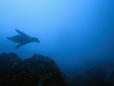 Silhouetted Endangered Galapagos Sea Lion Swimming Underwater