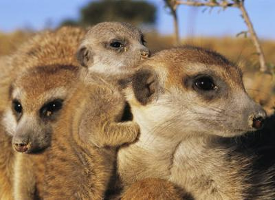 Young Meerkat Nestles with Its Adult Caretakers
