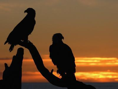 Mature Bald Eagle Pair (Haliaeetus Leucocephalus) at Sunset-Tom Walker-Photographic Print