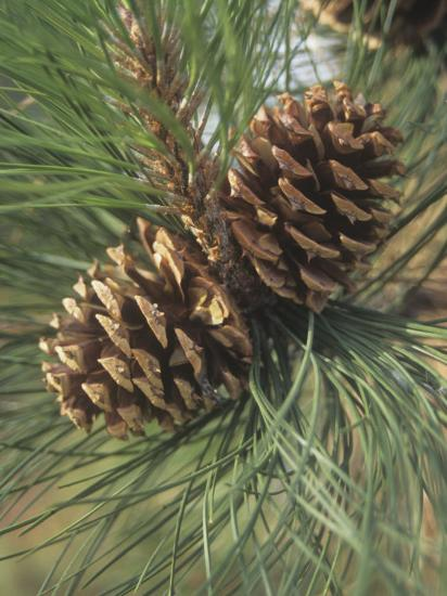 Mature Female or Seed Cones and Needles of the Ponderosa Pine, Pinus Ponderosa, Western USA-Derrick Ditchburn-Photographic Print