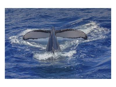 Maui Humpback Whale-Michael Polk-Art Print